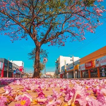 Florada dos Ipês em Tangará da Serra